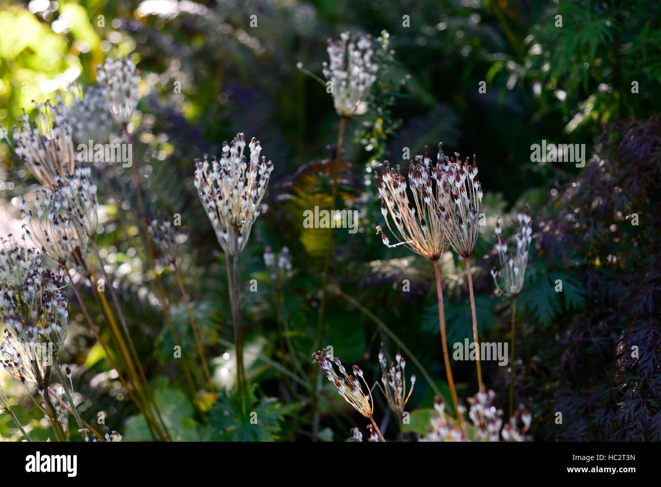 primula florindae, seedhead seedheads japanese primrose primroses seeds fertile garden RM Floral - Stock Image