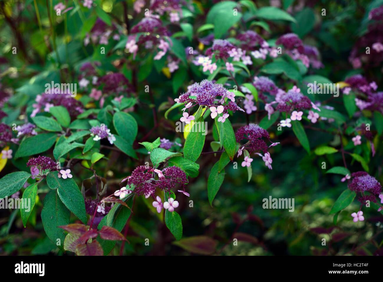 purple hydrangea flowers flower closeup closeups perennial shrub RM Floral - Stock Image