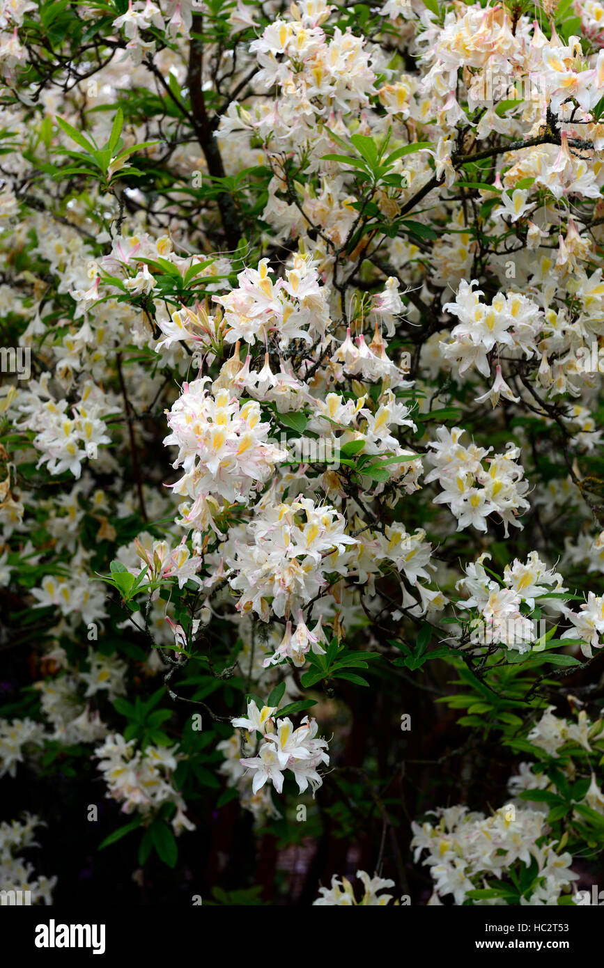 rhododendron luteum hybrid white flower flowers flowering ericaceous shrub spring bloom blooming RM Floral - Stock Image