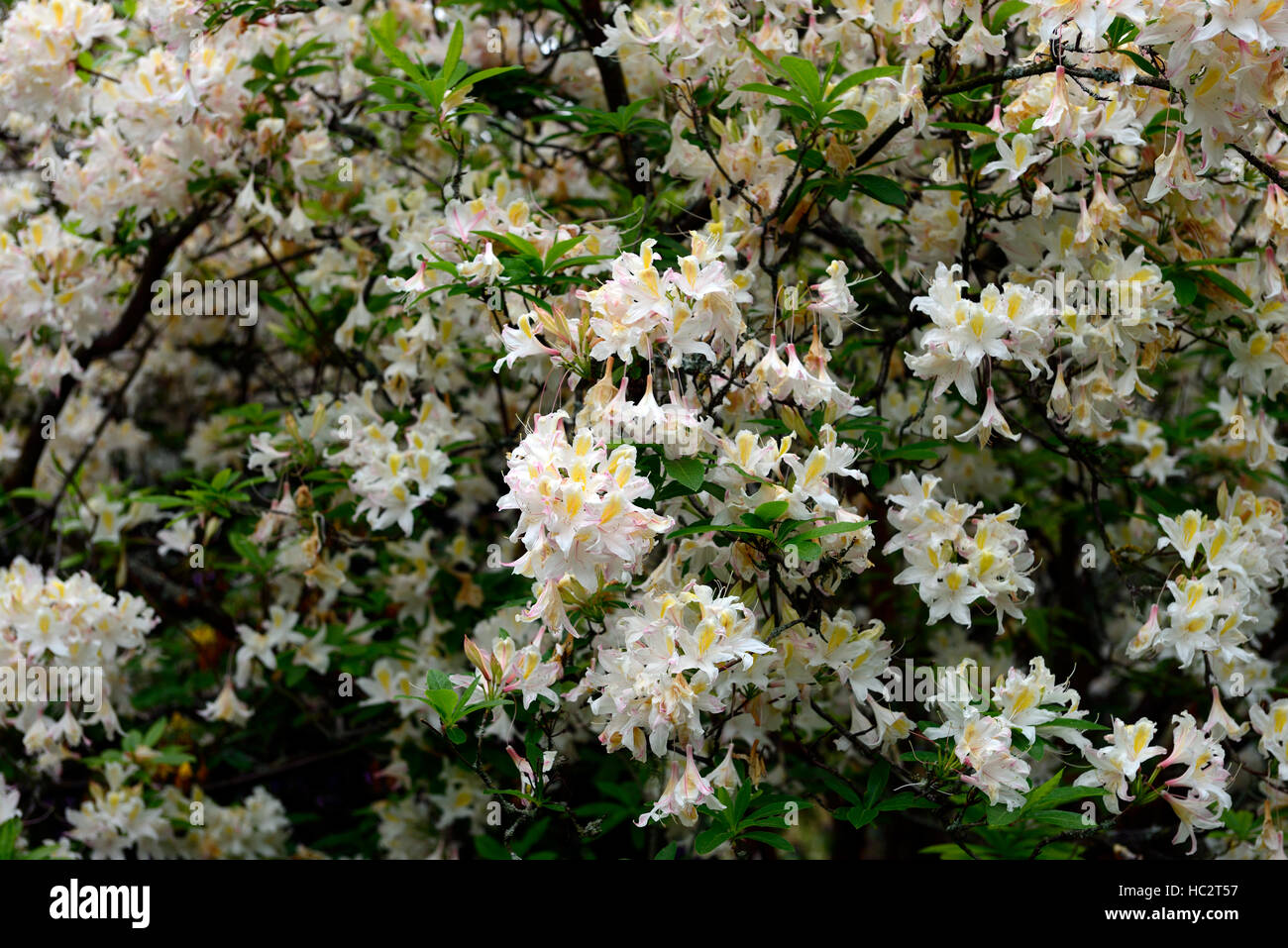 rhododendron luteum hybrid white flower flowers flowering ericaceous shrub spring bloom blooming RM Floral Stock Photo