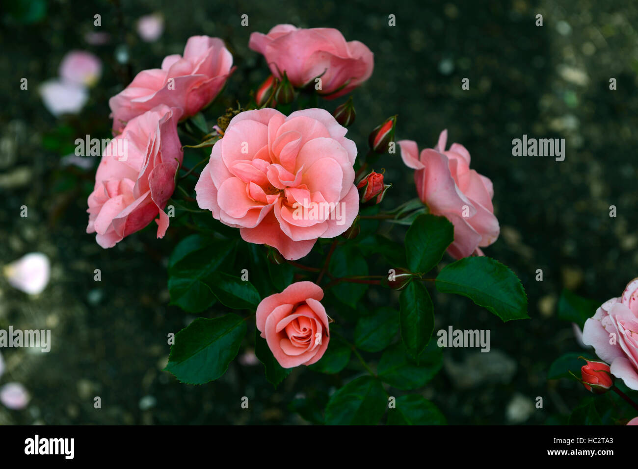rosa fascination poulmax rose flower pink flowering flowers fragrant scented floribunda shrub shrubs RM Floral - Stock Image