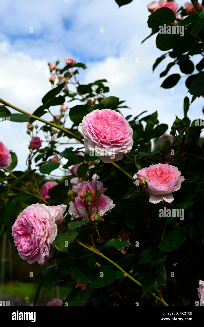 Rosa James Galway Auscrystal Rose Flower Pink Climber Climbing Stock