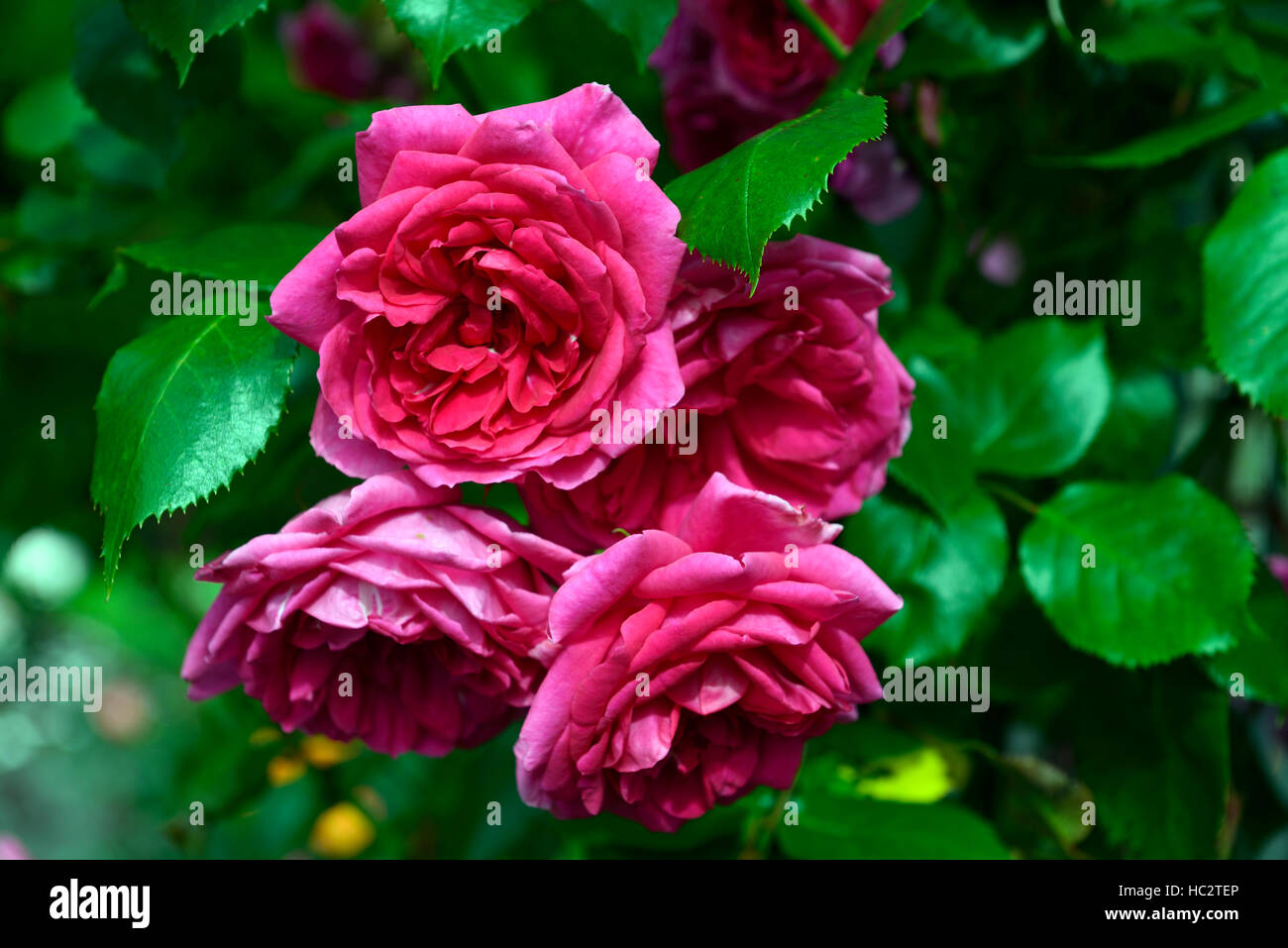 Rosa parade rose pink rose roses climber climbing flowering flower rosa parade rose pink rose roses climber climbing flowering flower flowers fragrant scented rm floral mightylinksfo