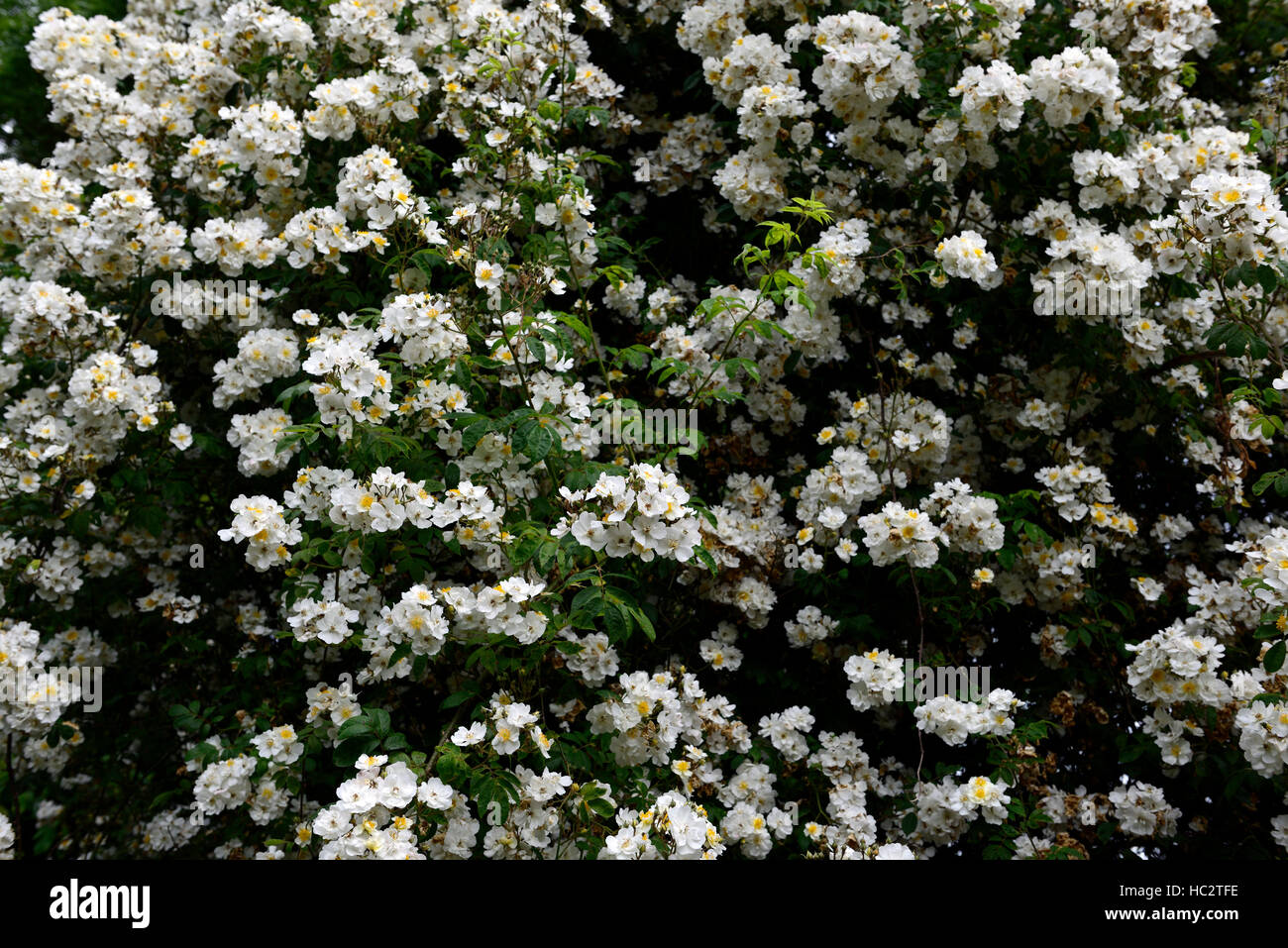 rosa rambling rector rose flower white rambler climber shrub shrubs color colours flowering flowers fragrant scented - Stock Image