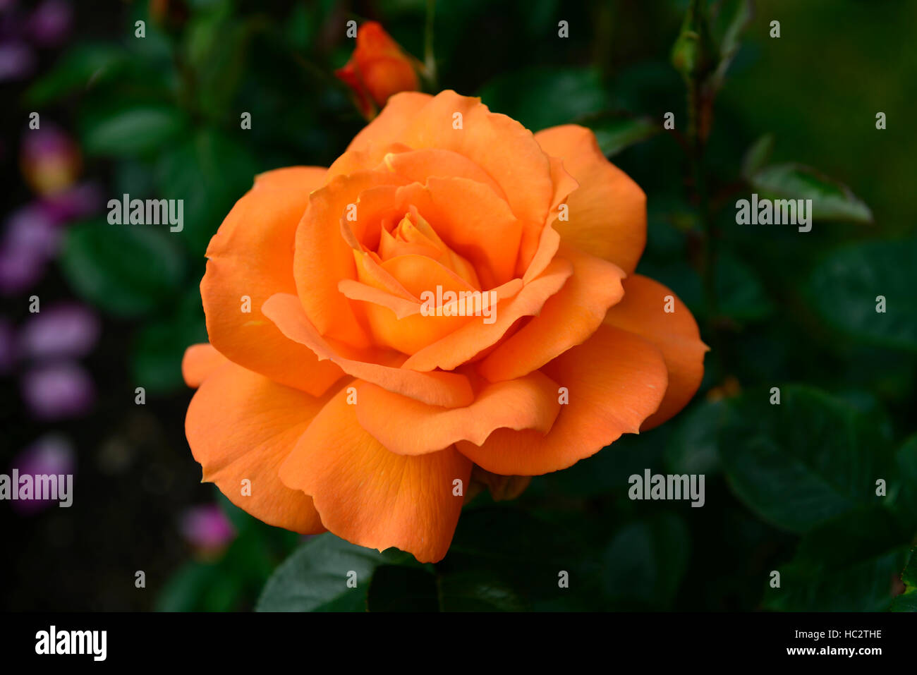 rosa sparkle frymerlin Hybrid Tea Rose roses orange blooms blooming flower flowering flowers summer fragrant scented - Stock Image