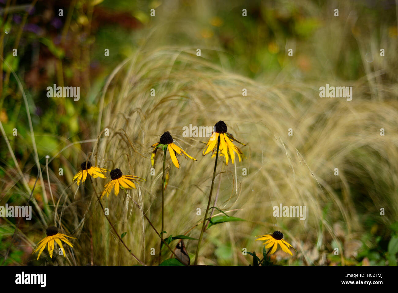 rudbeckia grass grasses prairie planting scheme mix mixed combination autumn autumnal fade fading fall flowers RM - Stock Image