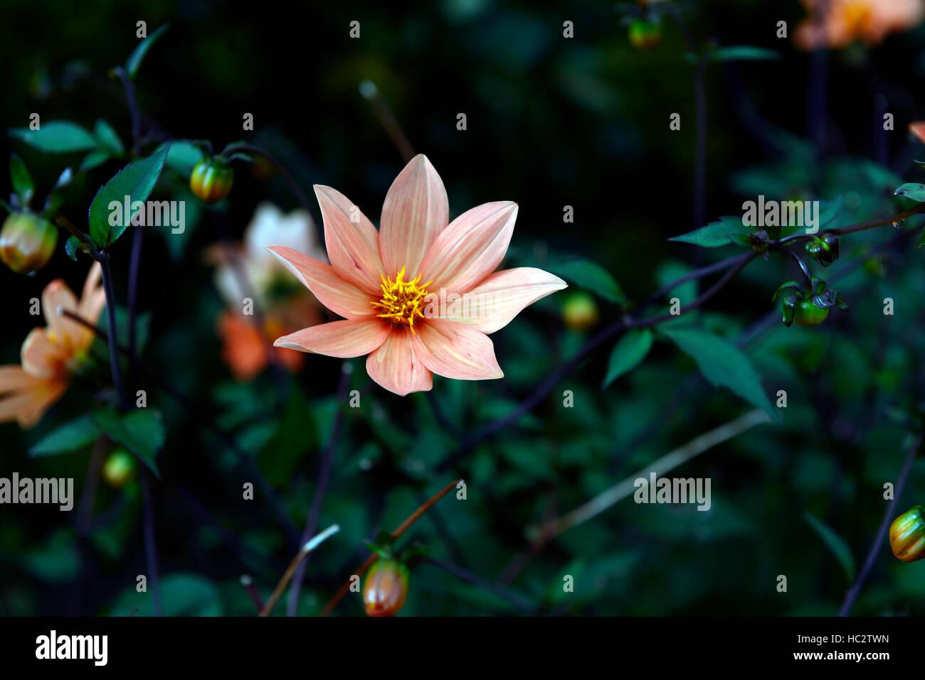 Single Orange Dahlia Flower Peony Type Perennial Flowers Flowering