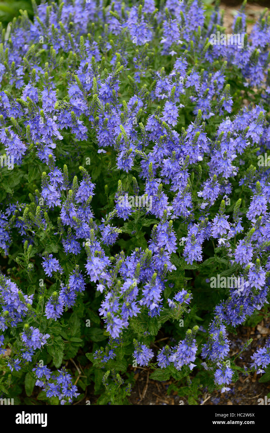 Veronica teucrium creeping hungarian speedwell blue flower flowers veronica teucrium creeping hungarian speedwell blue flower flowers flowering garden mound forming cover perennial rm floral mightylinksfo