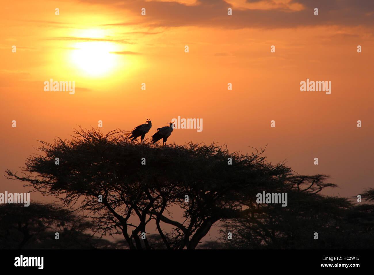 Two African Secretary Birds (sagittarius serpentarius) in Treetop During Sunrise - Stock Image