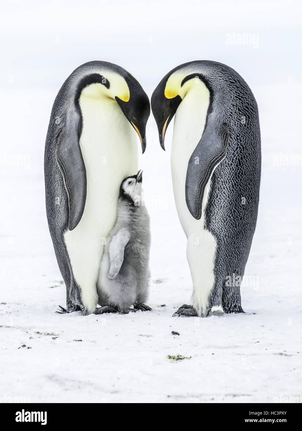 Emperor Penguin Parents with chick - Stock Image