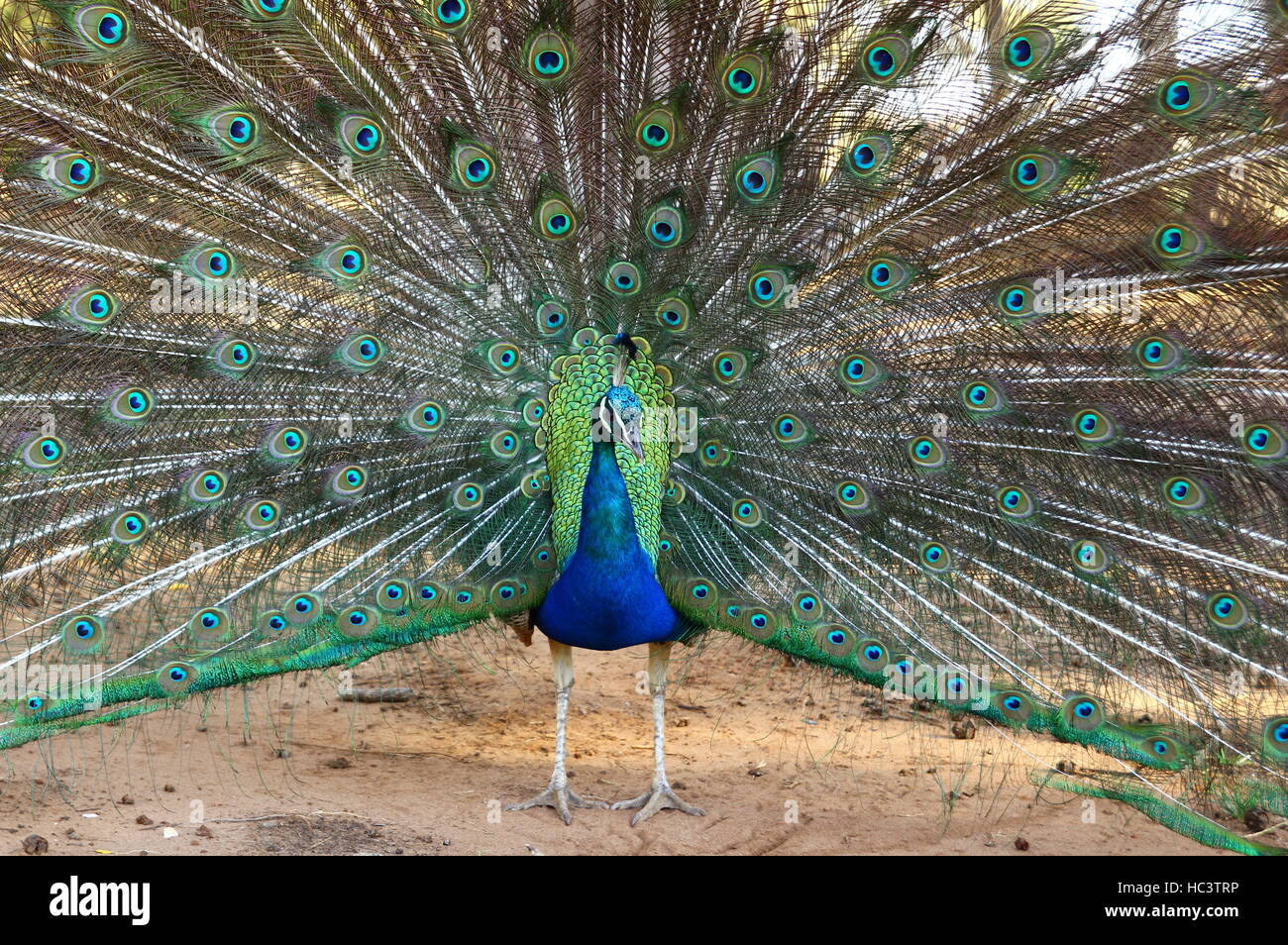 Peacock's ostentation - Stock Image
