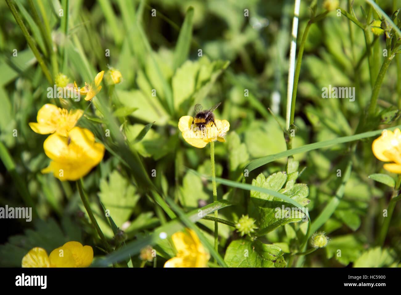 Buttercups buttercup growing Hampstead Heath - Stock Image