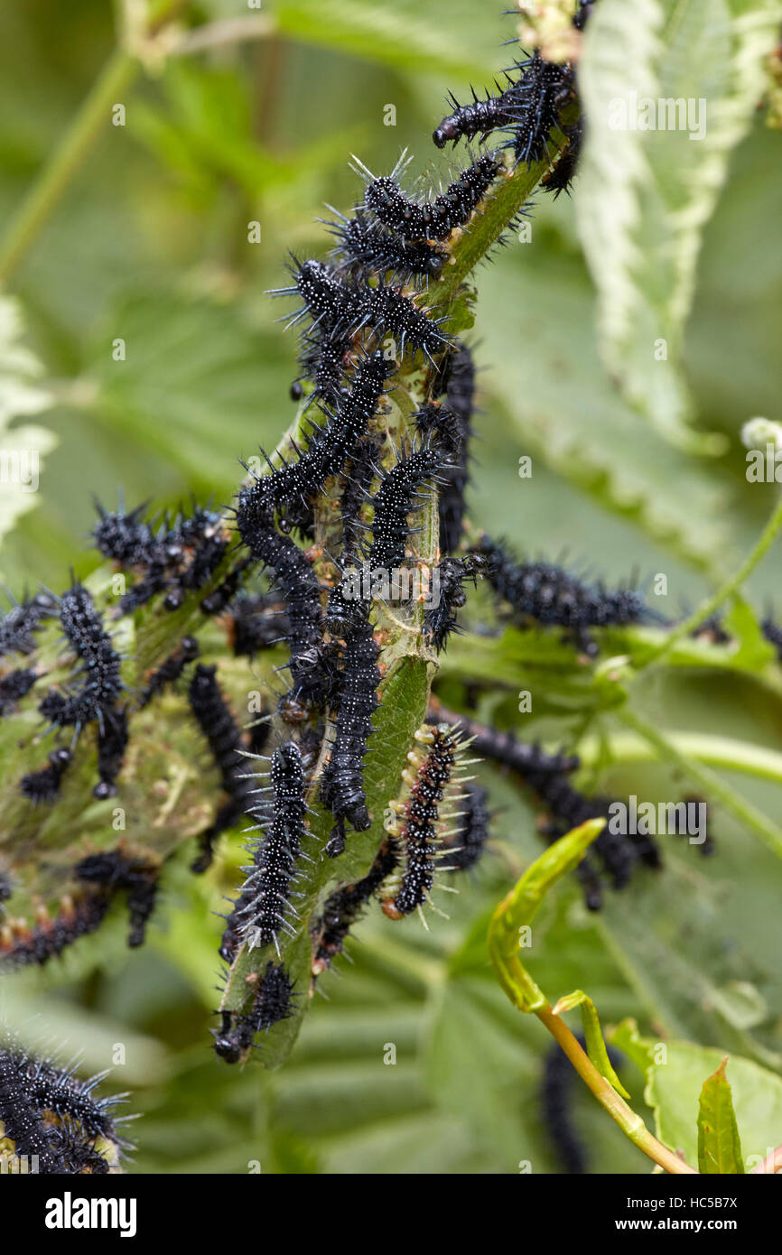 Peacock caterpillars feeding on stinging nettle. Warren Farm, Ewell, Surrey, England. - Stock Image