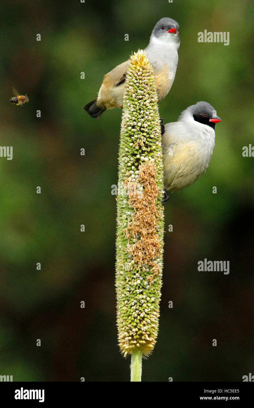 A pair of Swee Waxbills appearing to take avoiding action from a bee flying towards them. - Stock Image