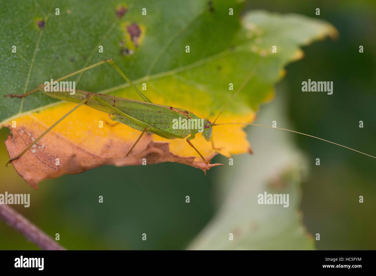 Gemeine Sichelschrecke, Männchen, Phaneroptera falcata, Sickle-bearing Bush-cricket, Sickle-bearing Bush cricket, - Stock Image