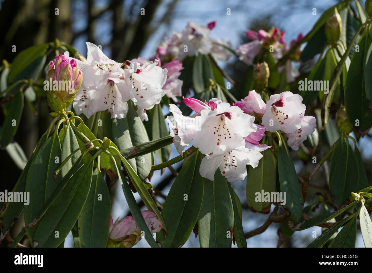 Rhododendron, Sichuan-Rhododendron, Rhododendron sutchuenense, Sichuan Rhododendron - Stock Image