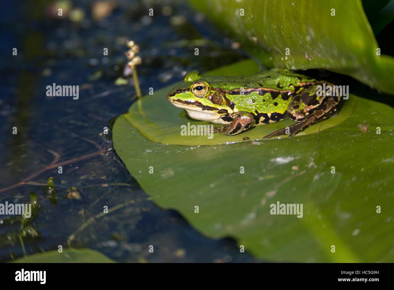 Teichfrosch, Teich-Frosch, Grünfrosch, Wasserfrosch, Frosch, Frösche, Pelophylax esculentus, Rana kl. - Stock Image