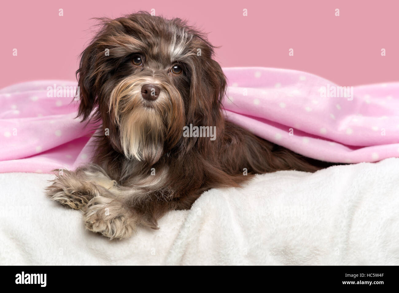 Cute lying chocolate Havanese dog in a bed under a pink blanket, before a mauve background - Stock Image