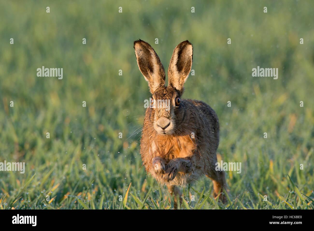 Brown Hare, Lepus europaeus  Norfolk spring - Stock Image