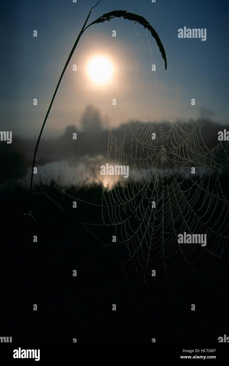 Spider Web and Seed Head covered in Early Morning Dew - Stock Image