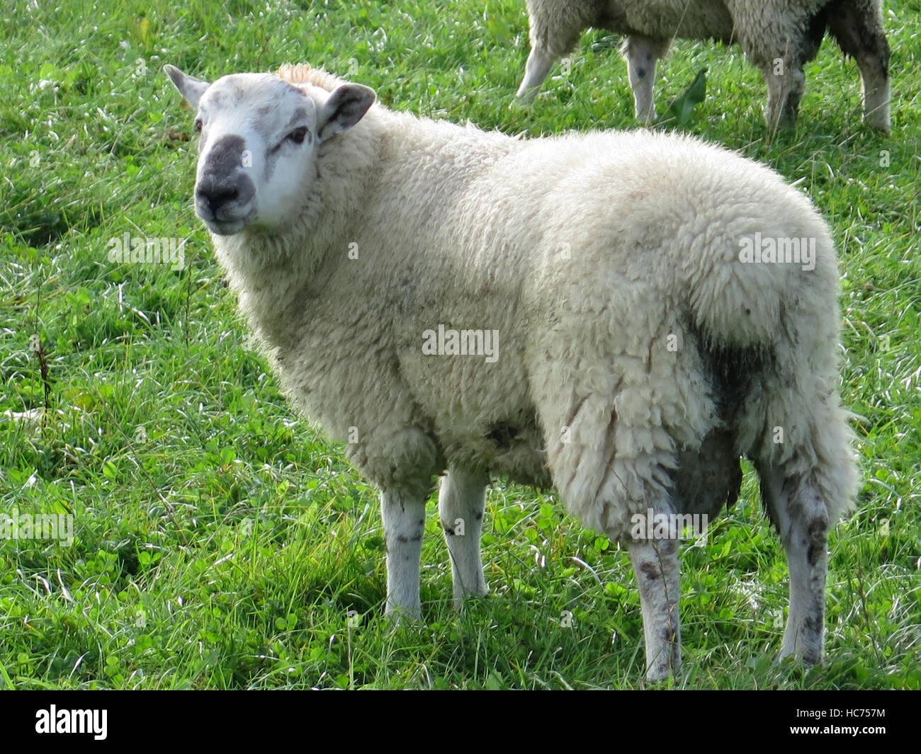Sheep grazing in lush green farm land on sunny autumn day in Dorset, UK - Stock Image