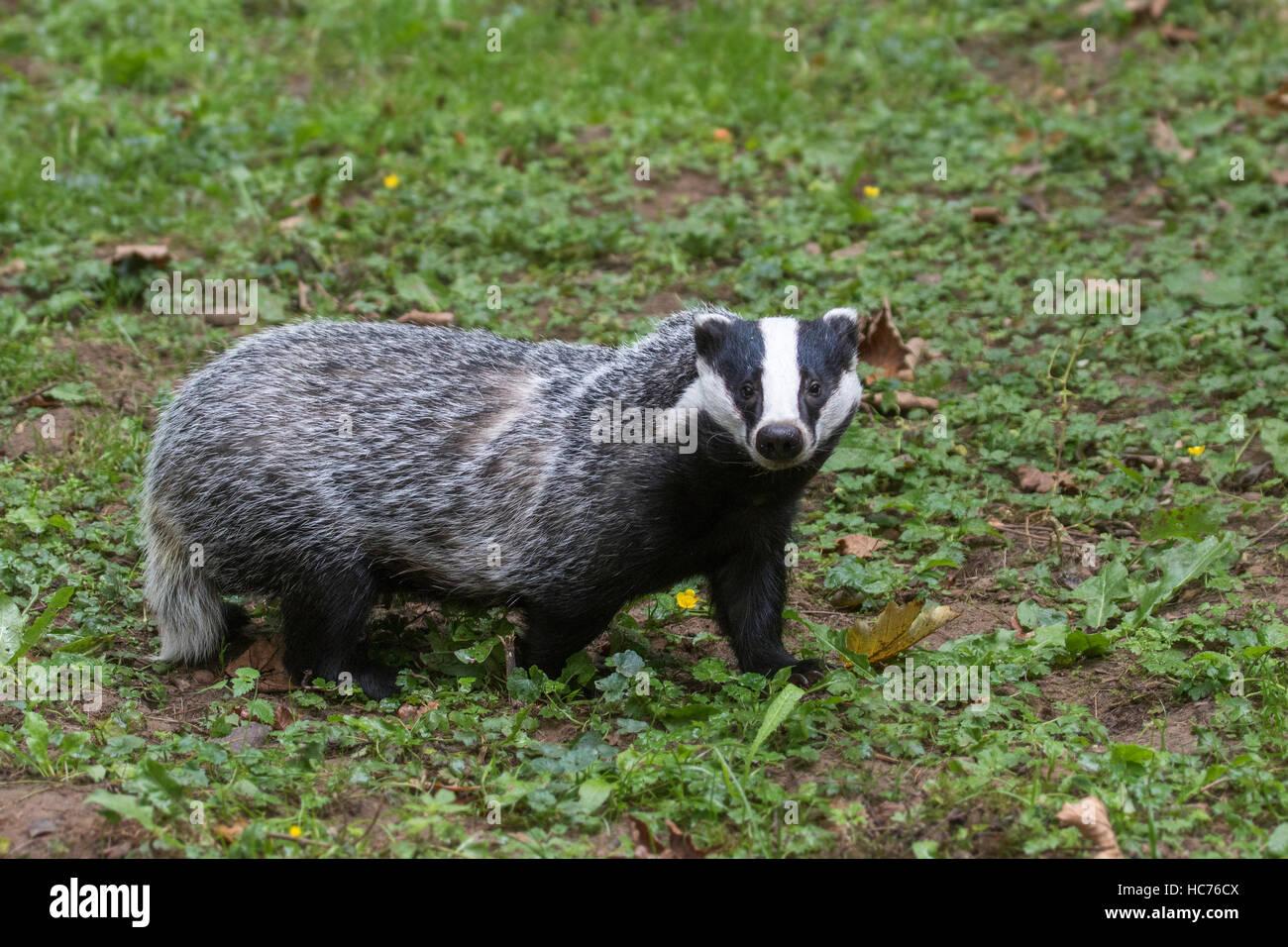 European badger (Meles meles) foraging in grassland during the daytime - Stock Image
