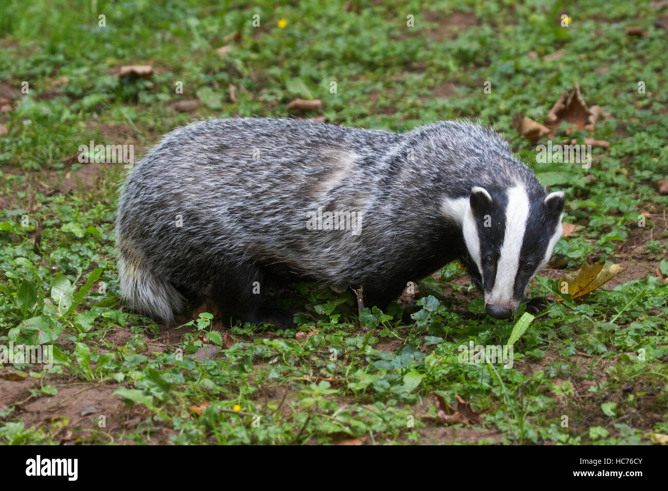 European badger (Meles meles) foraging in grassland during the daytime - Stock Image