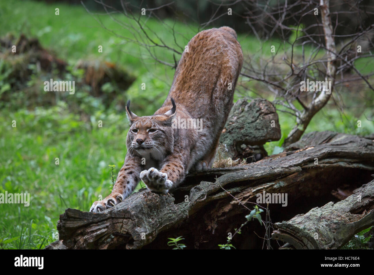 Eurasian lynx (Lynx lynx) stretching limbs and sharpening claws on tree trunk in forest - Stock Image