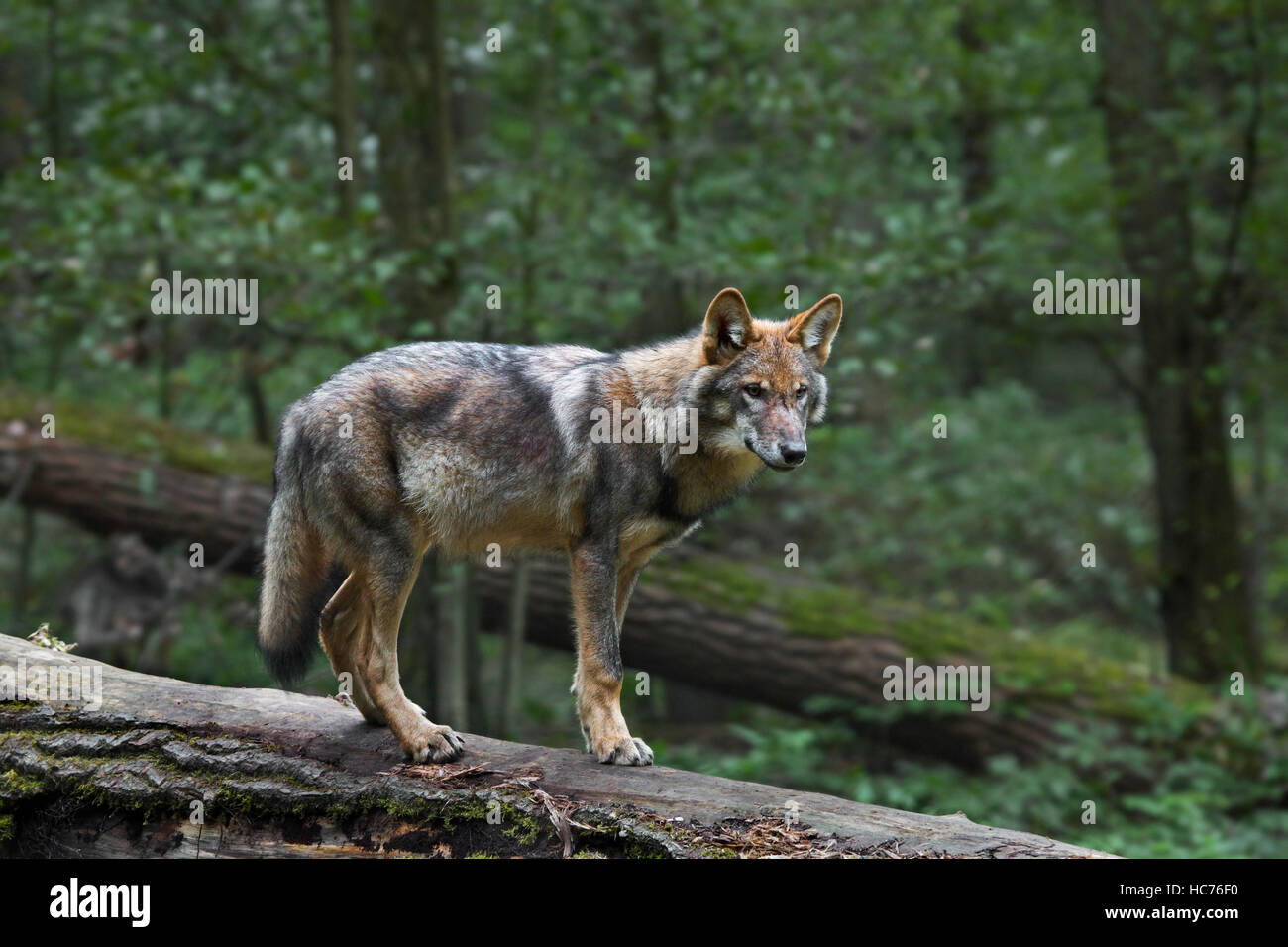 Solitary gray wolf / grey wolf (Canis lupus) on fallen tree trunk in forest - Stock Image