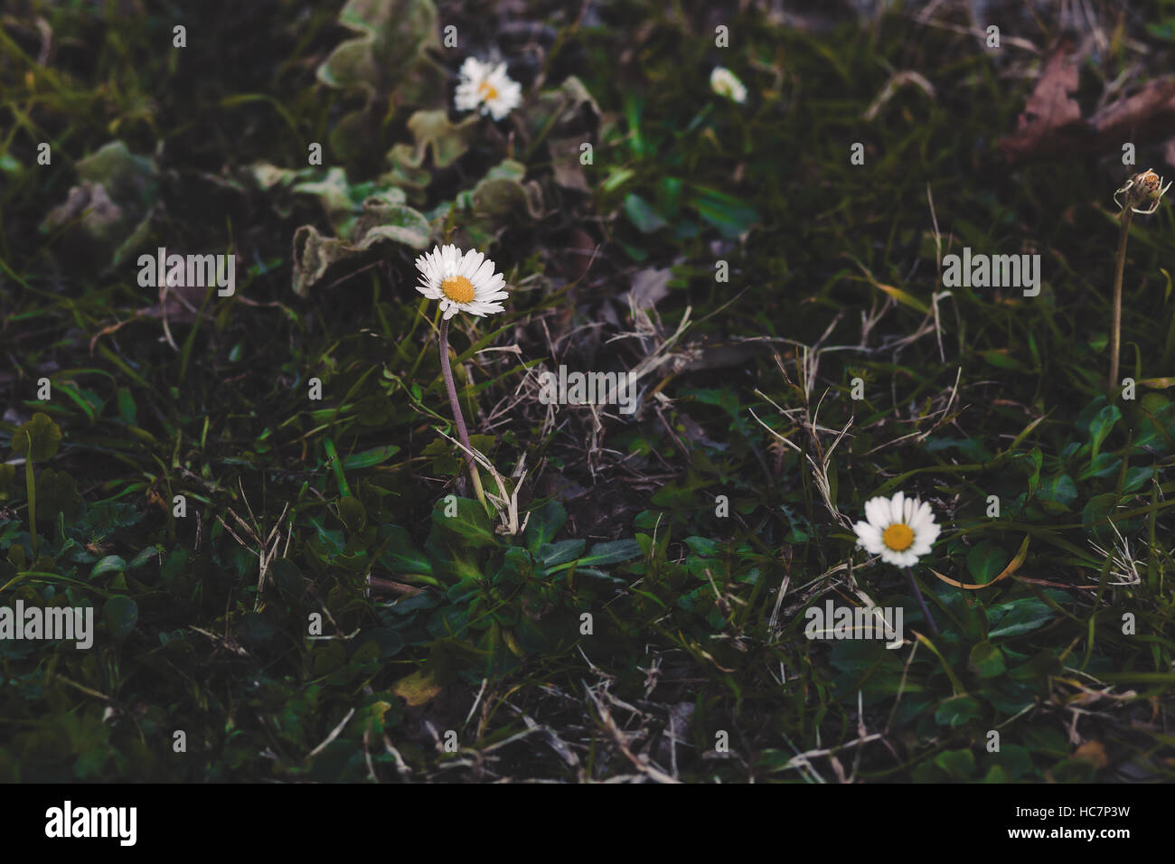 Daisy Flower Growing In The Grass Stock Photo 128019469 Alamy