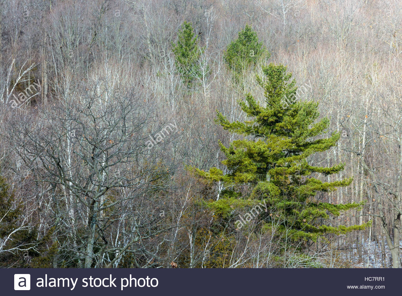 abscission tree deciduous trees drop leaves and evergreens retain needles in winter forest in Rouge National Urban - Stock Image