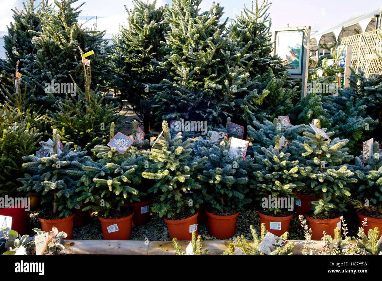 Super Blue Spruce & Norway Spruce Christmas Trees For Sale at Whitehall Garden Centre near Lacock in Wiltshire, - Stock Image