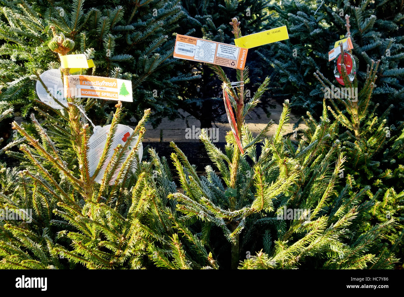 Norway Spruce Christmas Trees For Sale at Whitehall Garden Centre near Lacock in Wiltshire, United Kingdom. - Stock Image