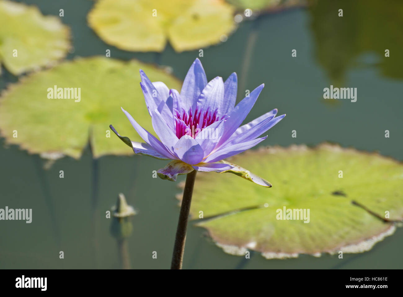 Photograph of purple waterlily and lily pads in a pond. - Stock Image