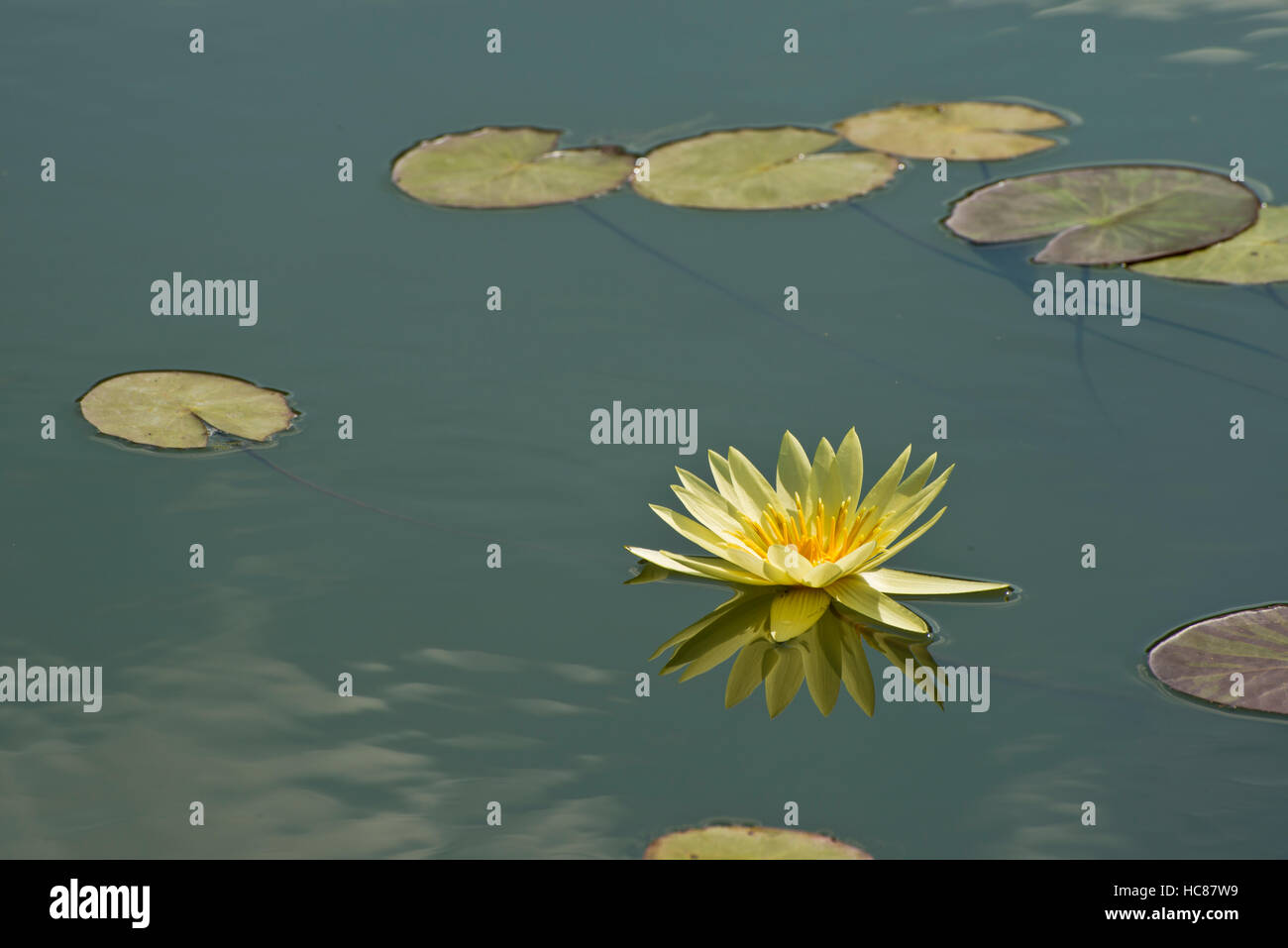 Photograph of yellow waterlilies and lily pads in a pond. - Stock Image