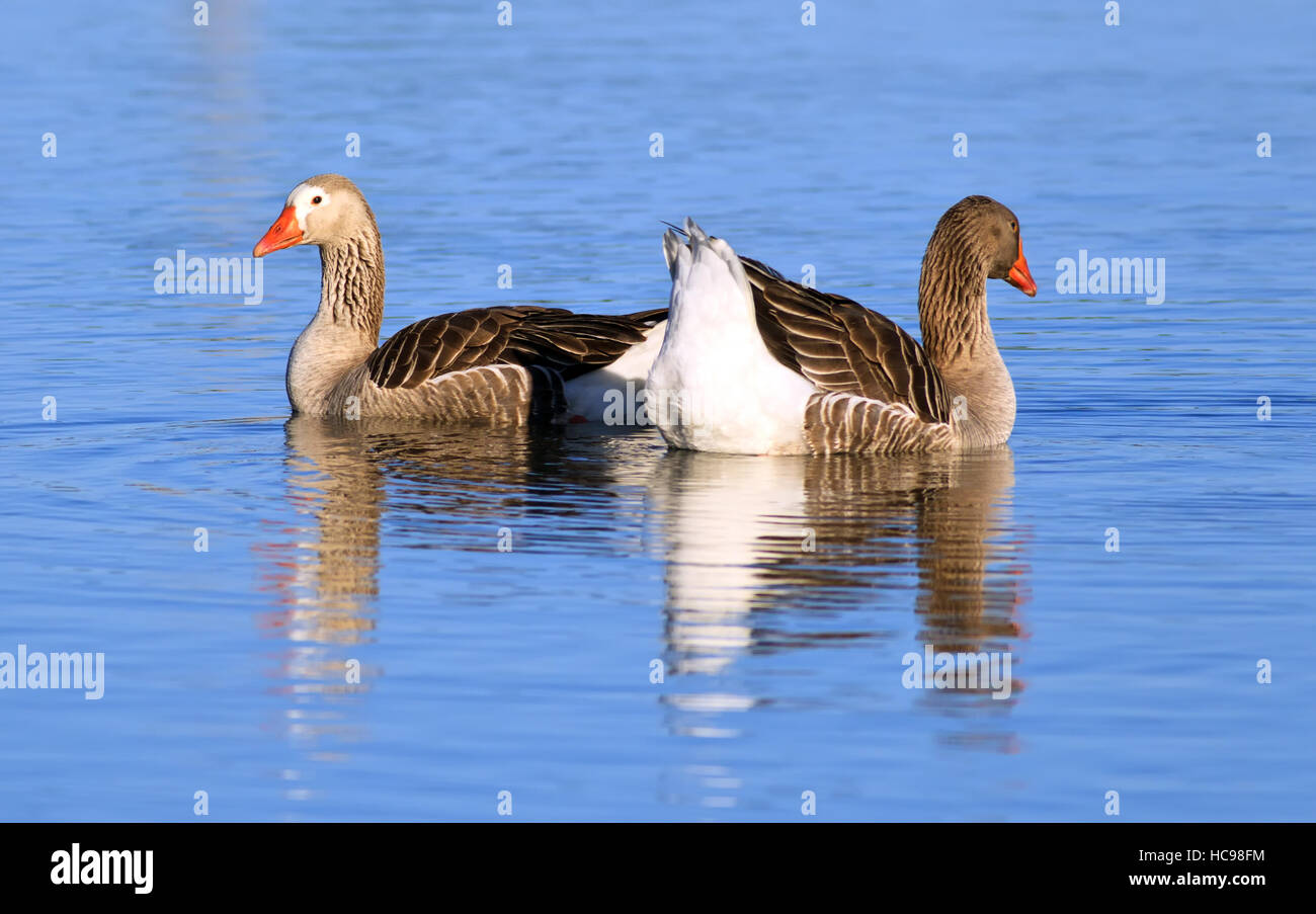 Geese on a billabong at Riverglades on the Murray River Murray Bridge South Australia - Stock Image