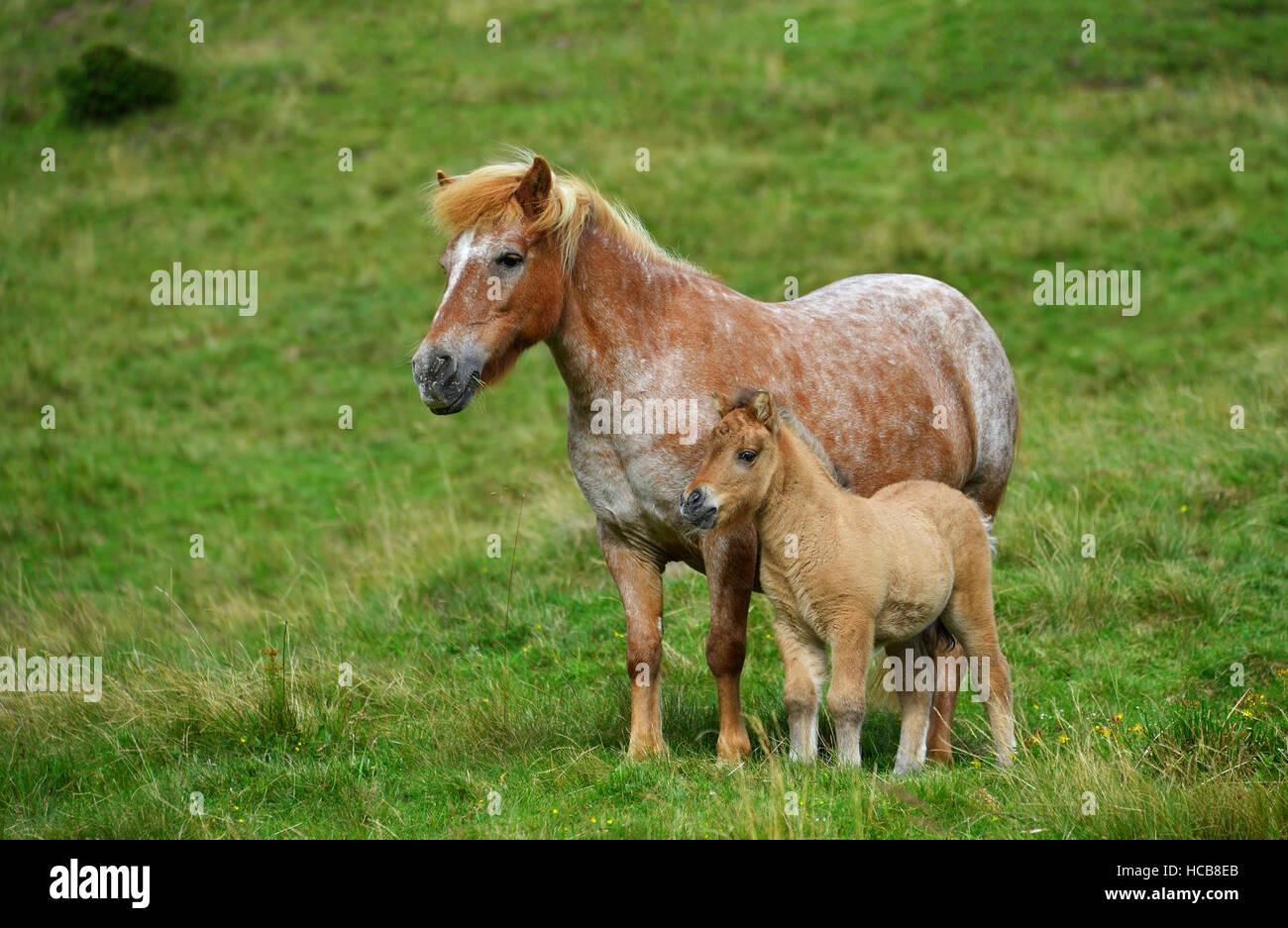 Shetland pony (Equus ferus caballus) with foal on alpine pasture, Carinthia, Austria Stock Photo