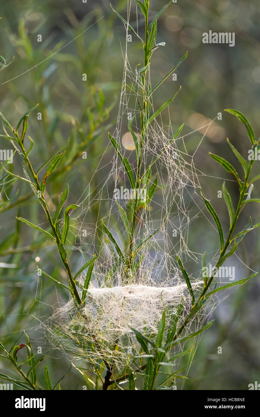 Web of Sheet Weaver (Linyphiidae) in willows, Isar, Upper Bavaria, Bavaria, Germany - Stock Image
