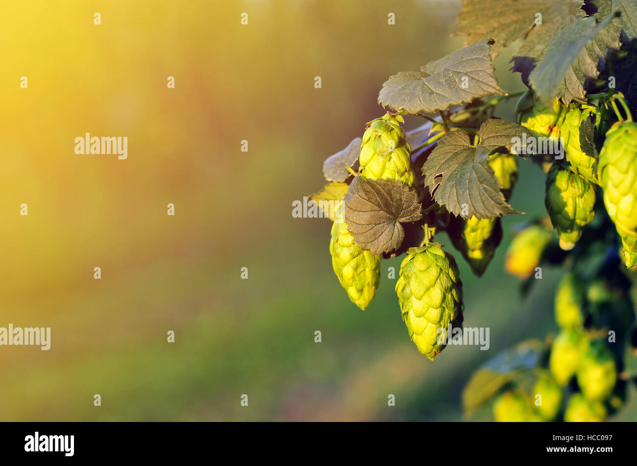 Green hops, lit by a warm sun light - Stock Image