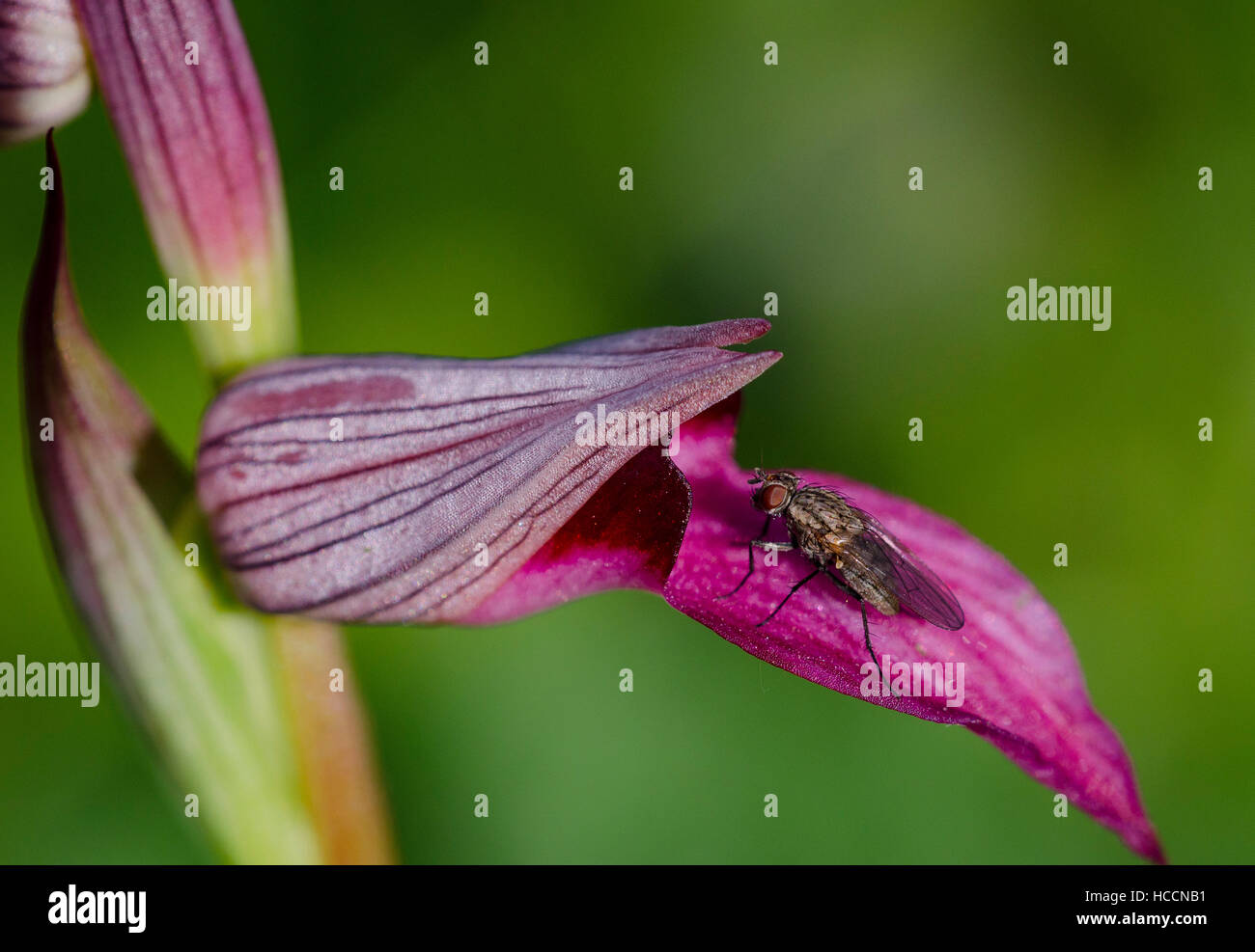 A fly on the labellum (or lip) of an orchis serapias lingua. - Stock Image