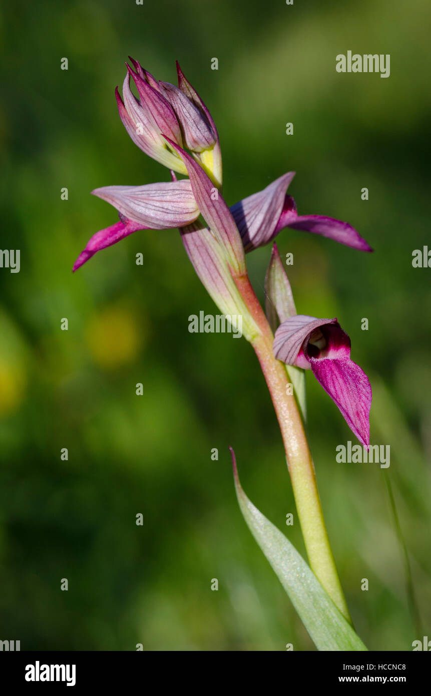 Serapias lingua. - Stock Image