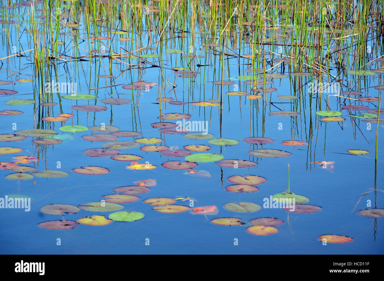 Reeds, reflections and colorful Waterlily pads in a blue pond - Stock Image