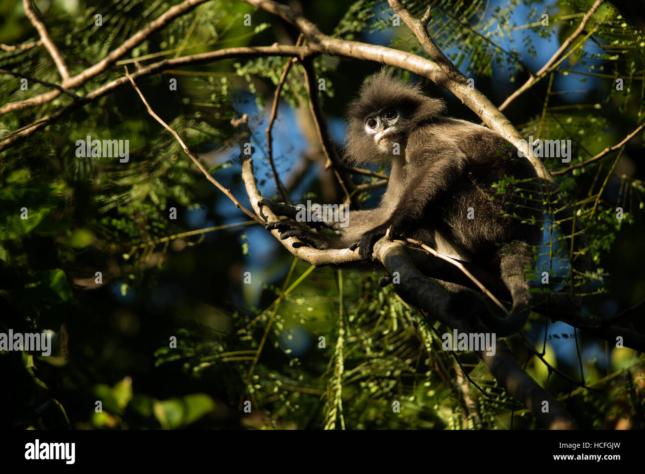 Phyr's leaf monkey or spectacled macaque or spectacled langur in the wild in Tripura, India - Stock Image