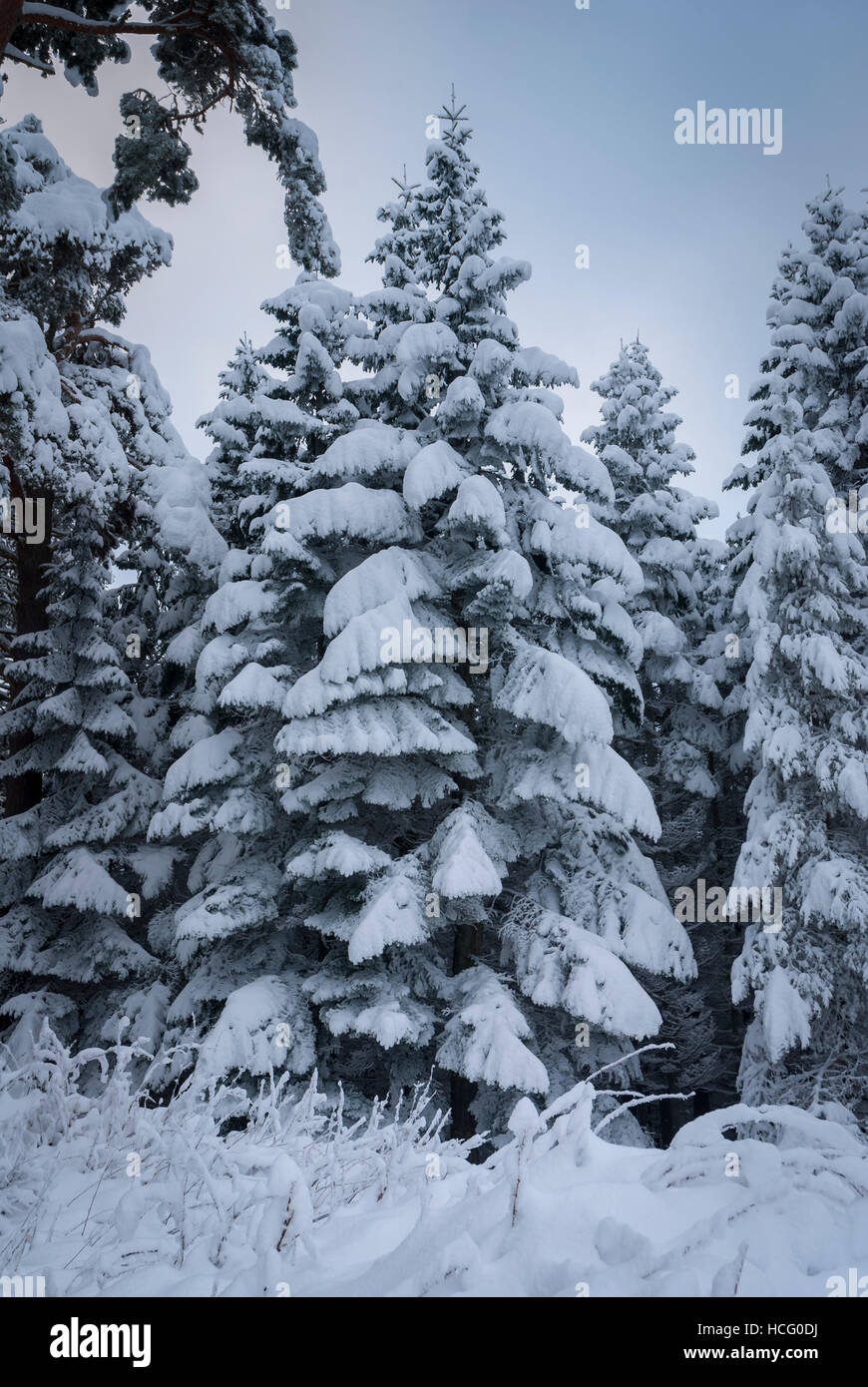 Snow laden pine trees stock photos snow laden pine trees - Images of pine trees in snow ...