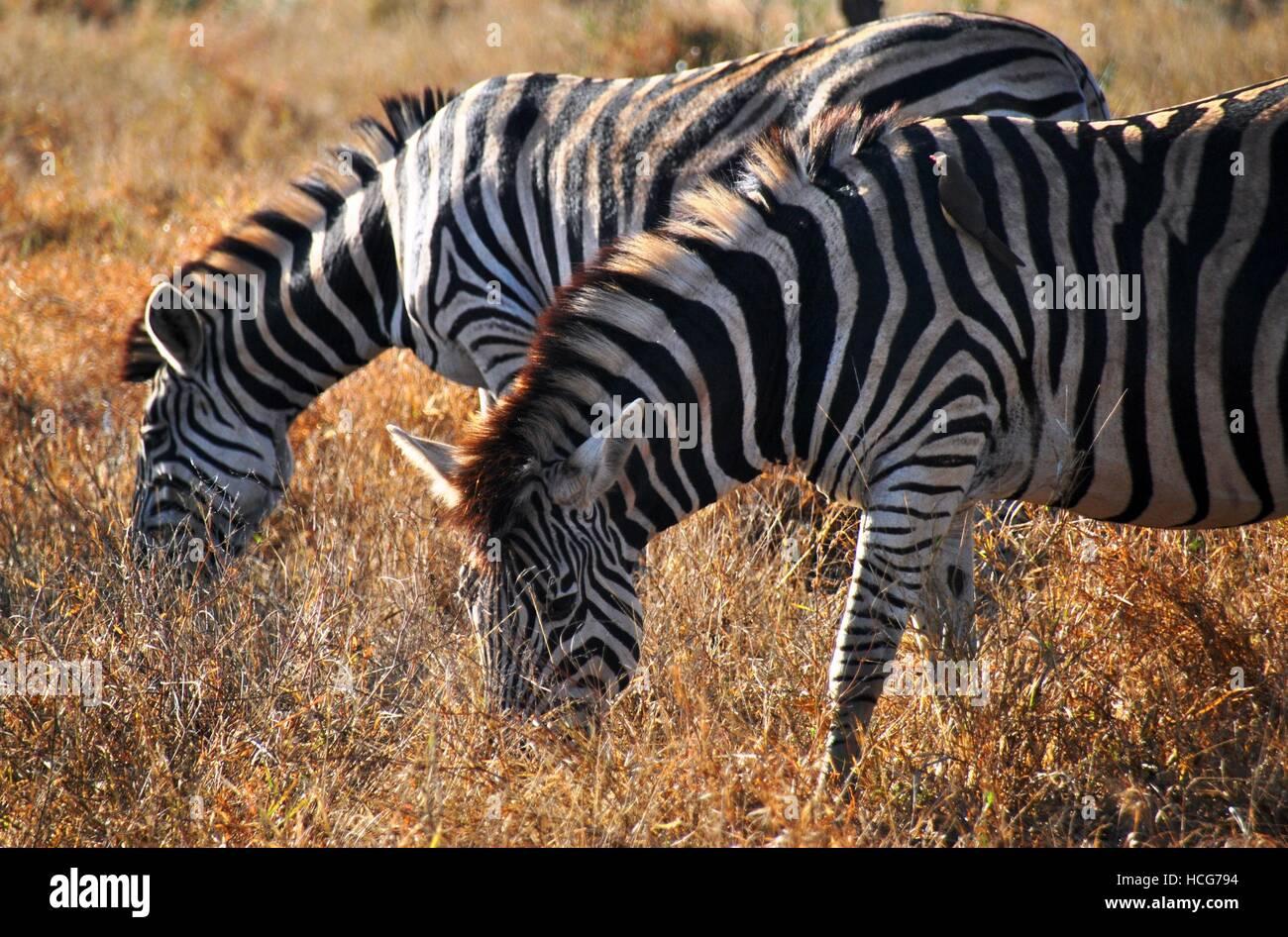 African Zebras grazing in Kruger National Park - Stock Image