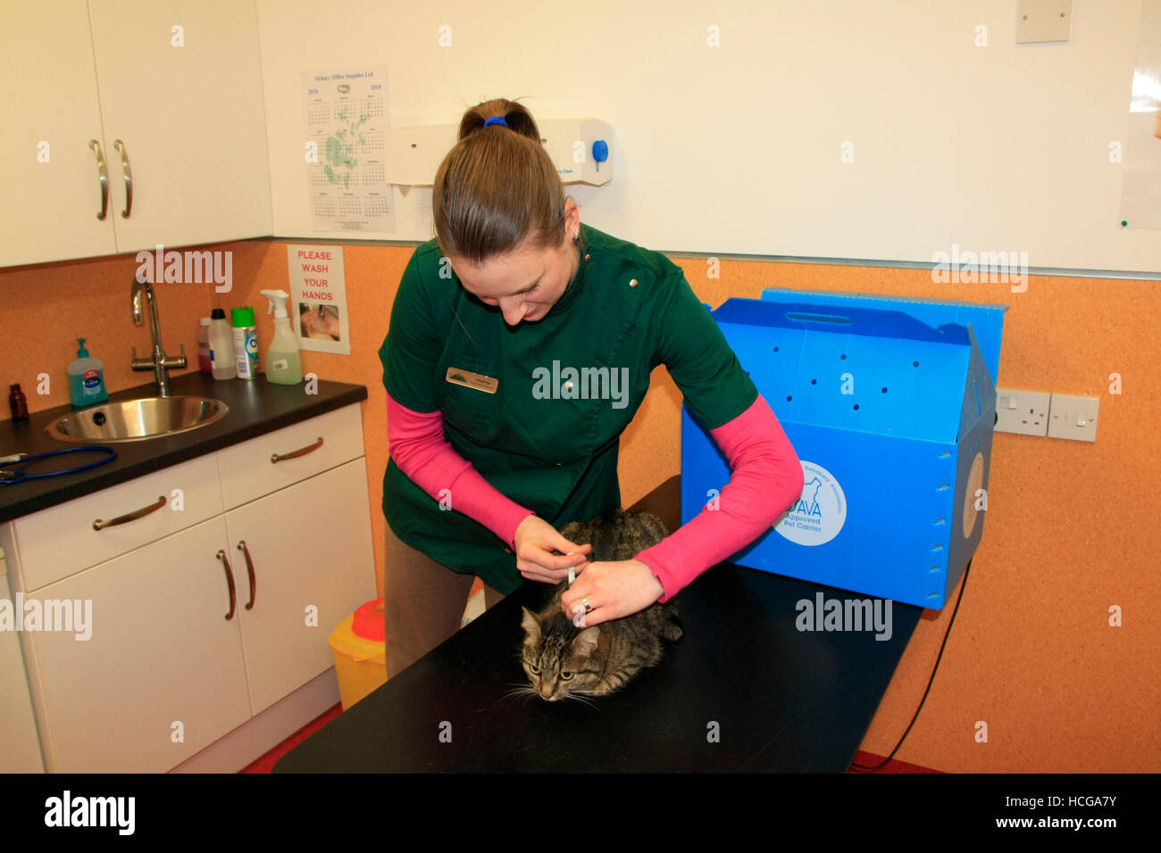 A vet using a syringe on a cat - Stock Image
