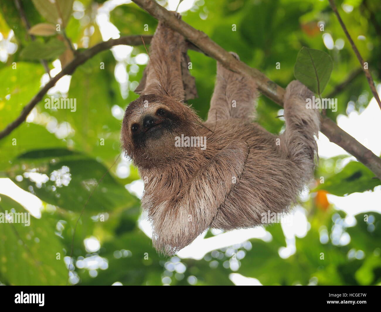Cute sloth, Bradypus variegatus, hanging from a branch in the forest, wild animal, Panama, Central America - Stock Image