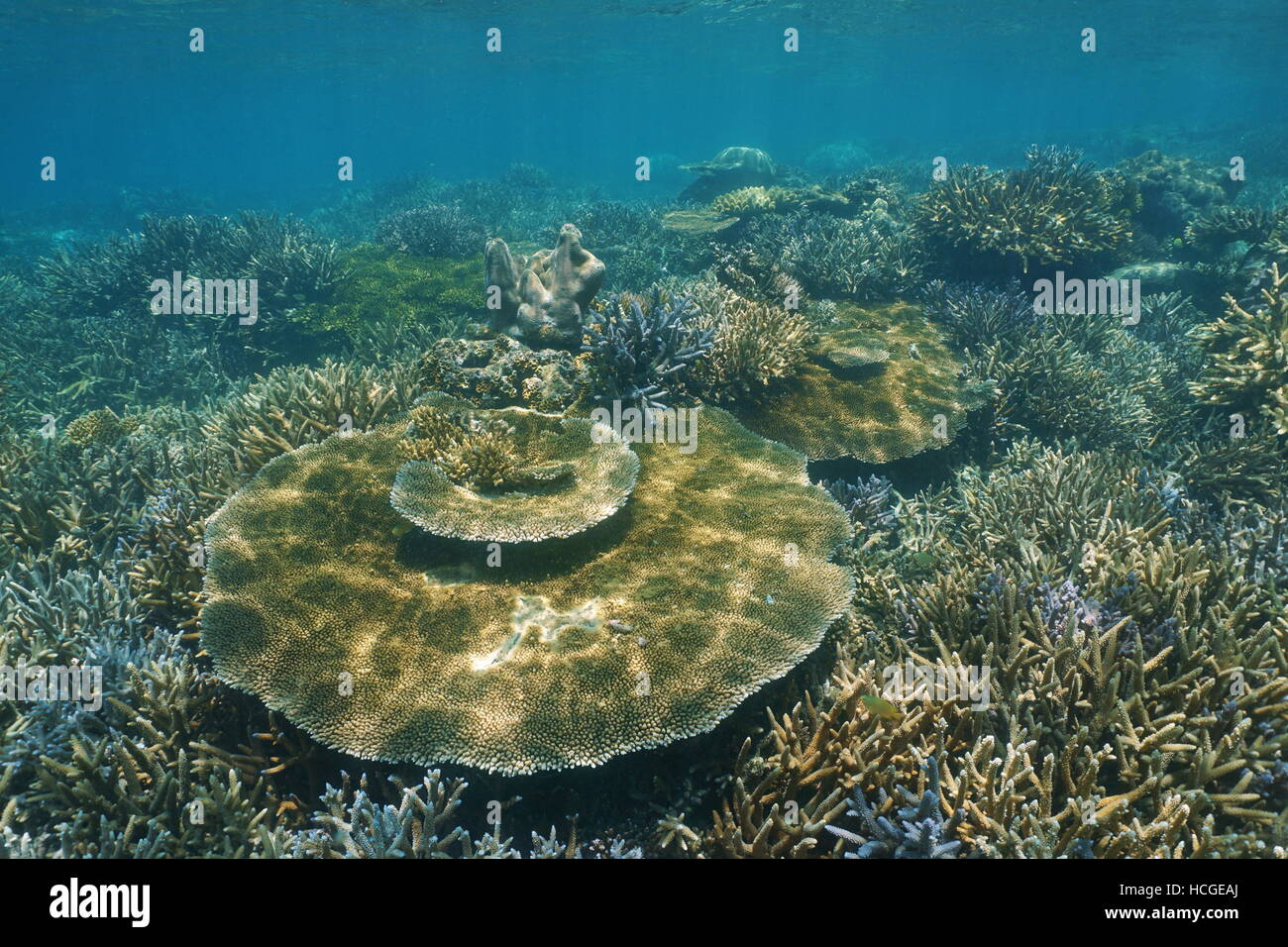 Pristine coral reef underwater with staghorn and table corals, New Caledonia, south Pacific ocean - Stock Image