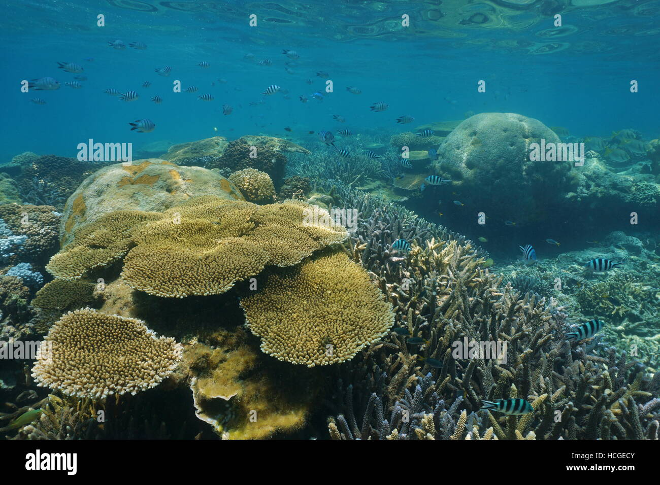 Underwater coral reef with scissortail sergeant fish, New Caledonia, south Pacific ocean - Stock Image