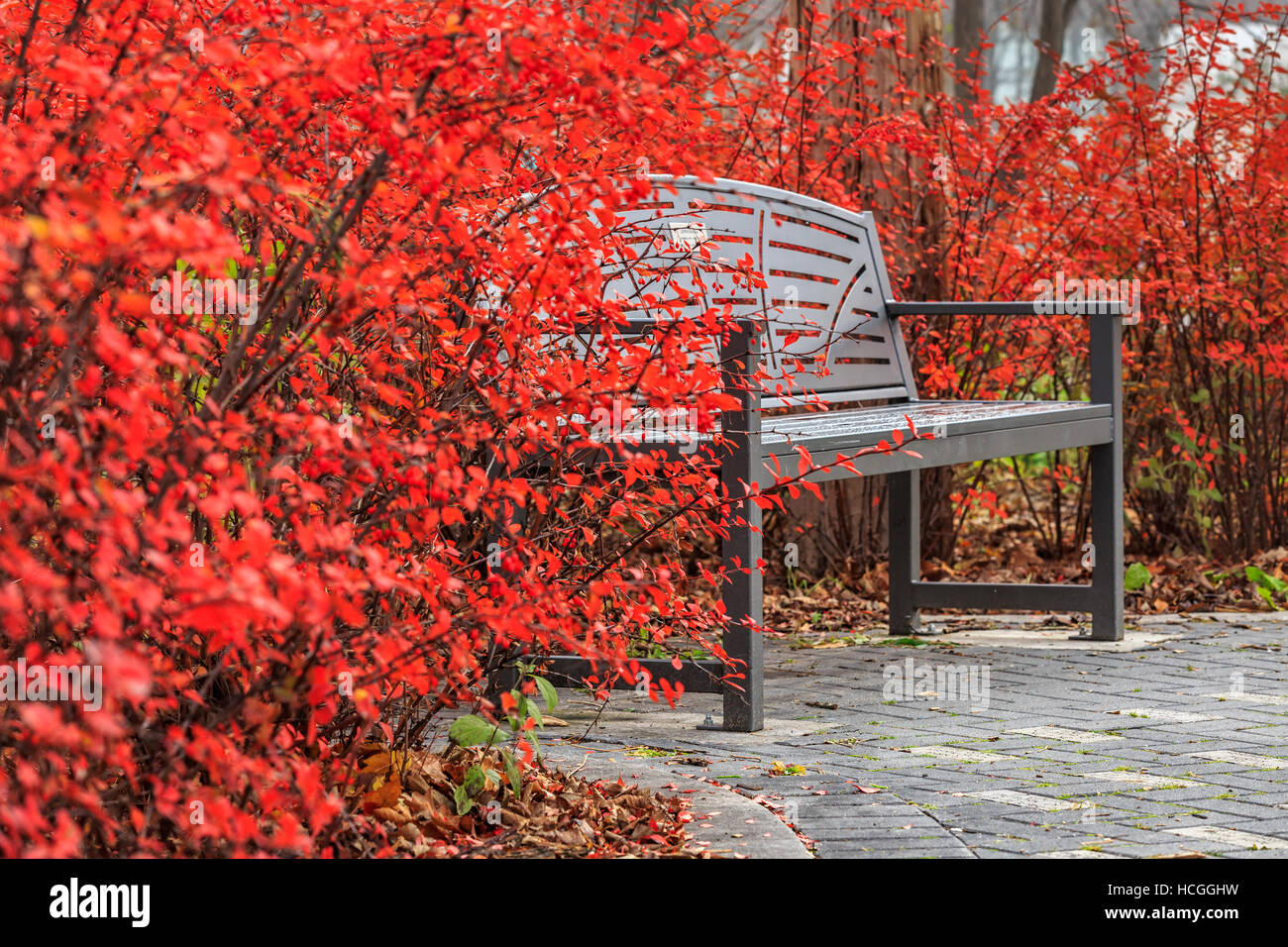 Crimson colored leaves of Burning Bush with park bench, Assiniboine Park, Winnipeg, Manitoba, Canada. - Stock Image